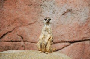 Watching Meerkat